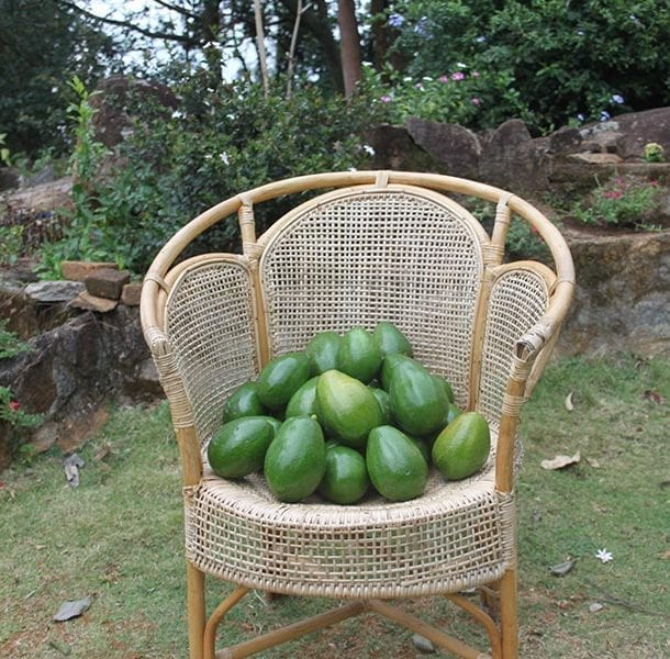 Sri Lankan avocados grow in the gardens at Jungle Tide in the hills outside of Kandy