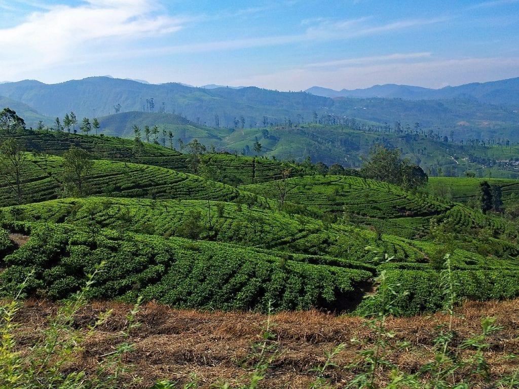 Rolling hills of tea plantations near Jungle Tide guest house in Sri Lanka